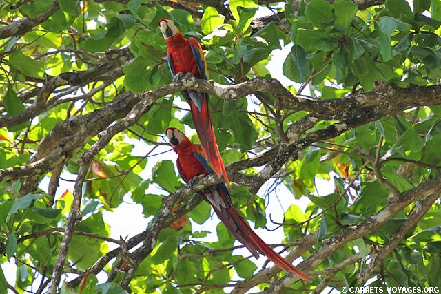 Aras rouge Cabo Matapalo Costa Rica