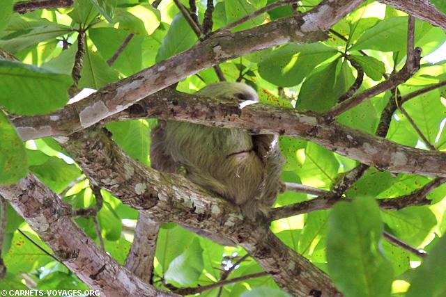 Paresseux Parc Cahuita Costa Rica