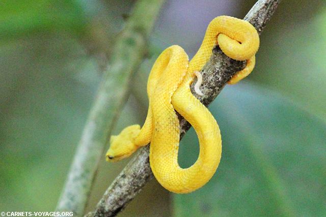 Serpent jaune Parc Cahuita Costa Rica