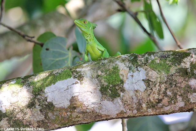 Lézard Parc Cahuita Costa Rica