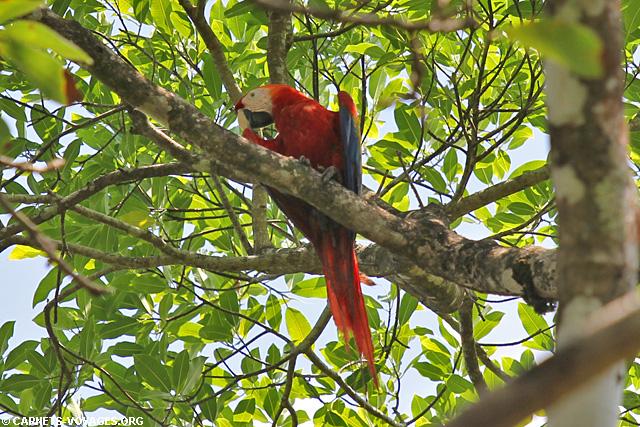 Aras rouge Parc Corcovado Costa Rica
