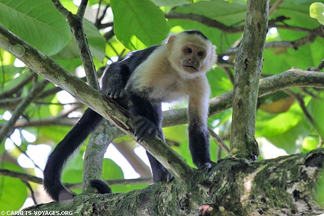Capucin moine Parc Corcovado Costa Rica