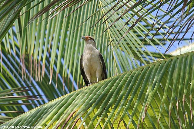 Caracara Parc Corcovado Costa Rica