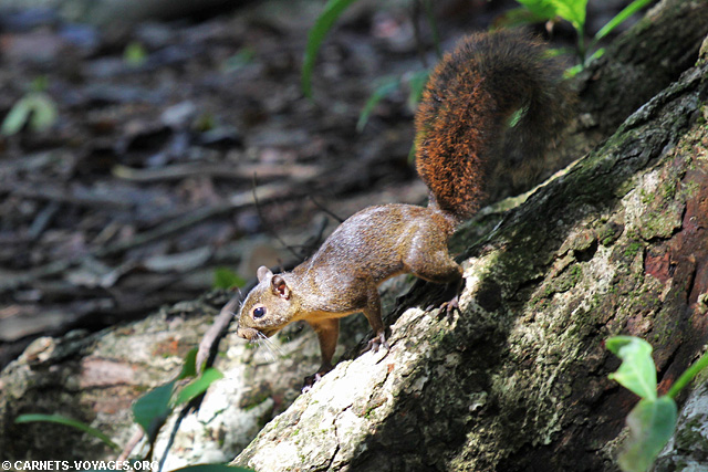 Ecureuil Parc Corcovado Costa Rica