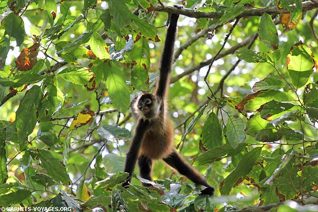Singe araignée Parc Corcovado Costa Rica