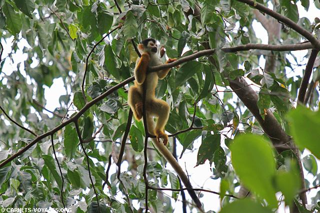 singe écureuil Parc Corcovado Costa Rica