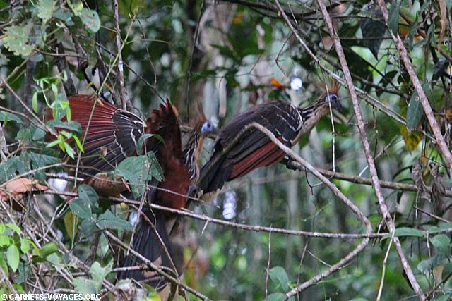 Hoatzin (Opisthocomus hoazin) Amazonie Equateur Cuyabeno