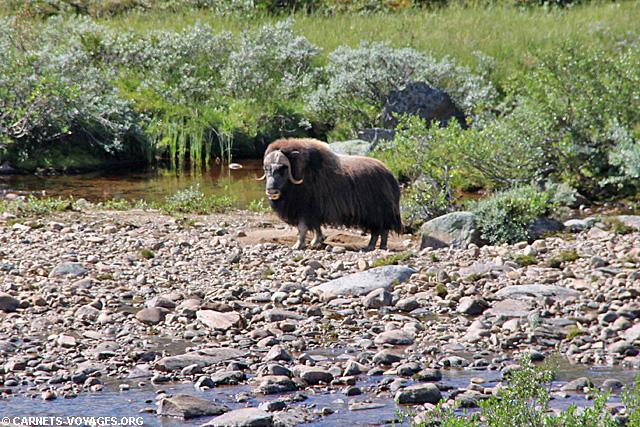 Boeuf musqué parc national Dovrefjell Norvège