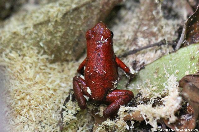 Grenouille rouge Réserve Gandoca-Manzanillo