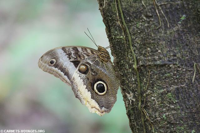 Papillon Réserve Gandoca-Manzanillo