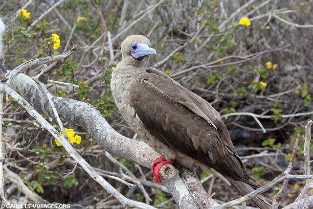 Ile Genovesa croisière îles Galapagos