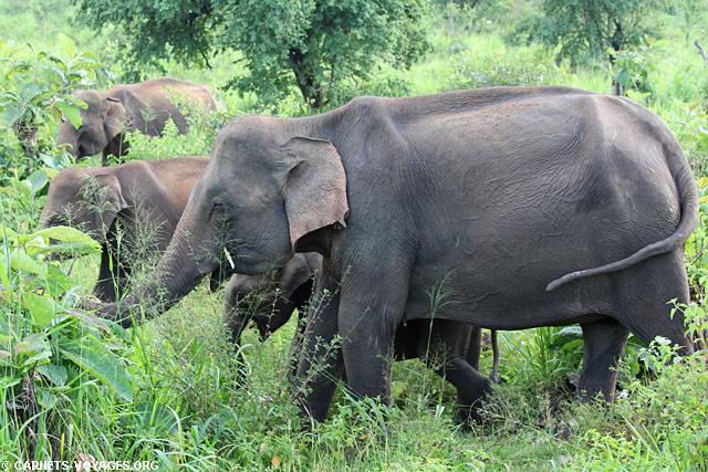 Elephants Hurulu Eco Park Sri Lanka