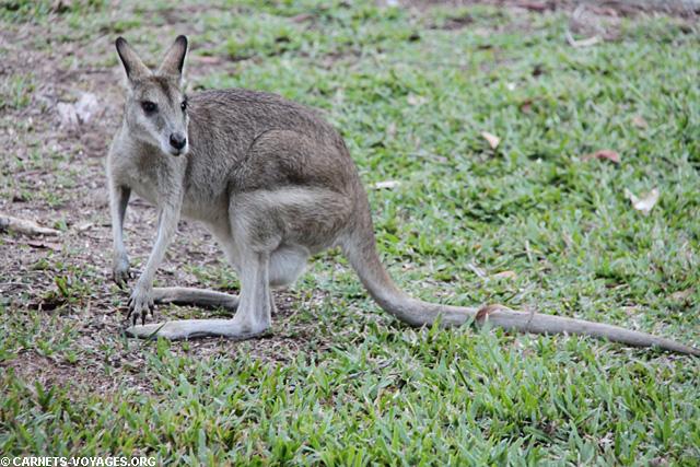 Wallaby dans le parc Kakadu en Australie