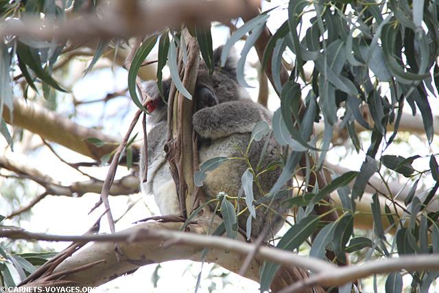 Koala sur Kangaroo Island en Australie