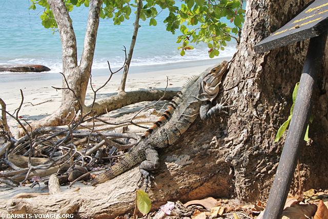 Iguane Playa Manuel Antonio Costa Rica