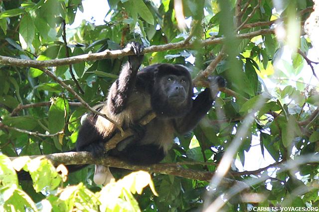 Singe hurleur Parc Manuel Antonio Costa Rica