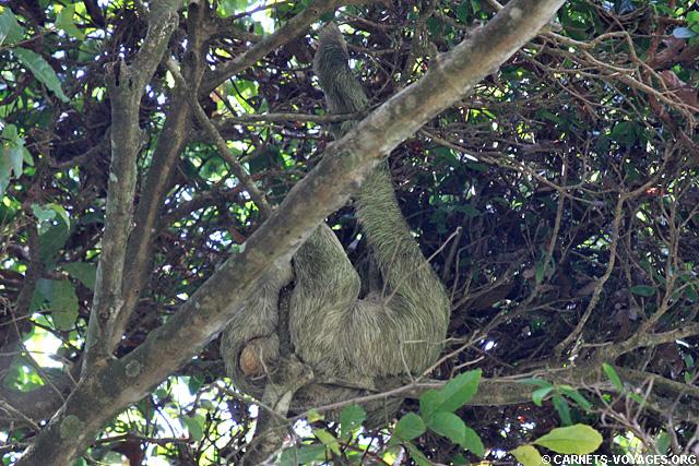 Paresseux Parc Manuel Antonio Costa Rica