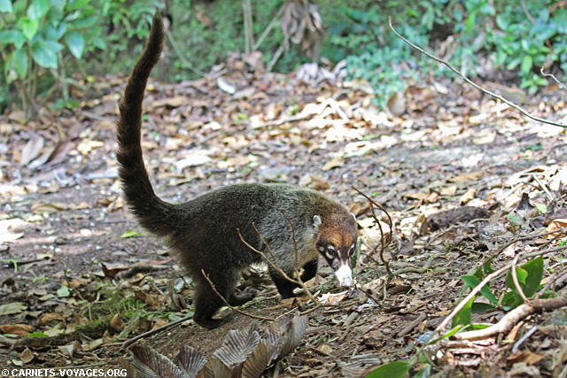 Coati Réserve Monteverde Costa Rica