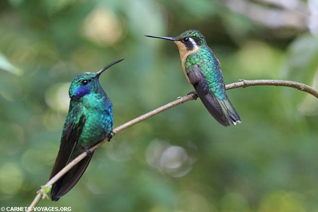 Colibris Monteverde Costa Rica