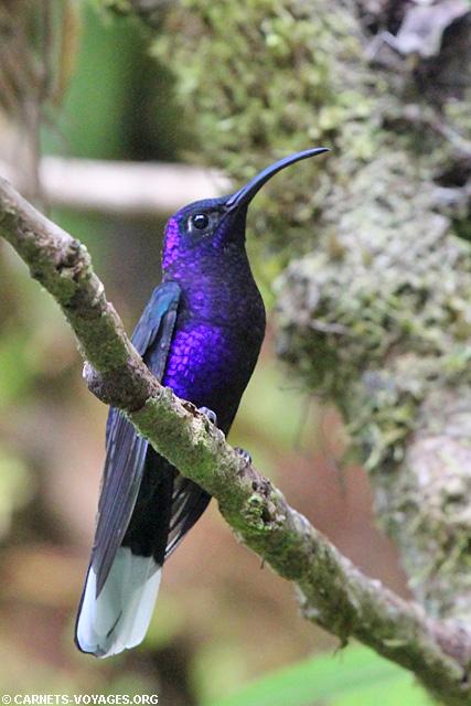 Colibri Monteverde Costa Rica