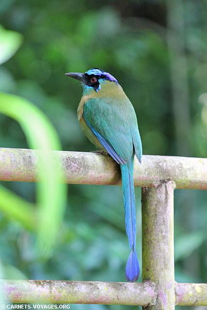 Motmot houtouc Réserve Monteverde Costa Rica
