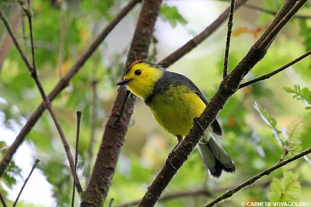 Paruline ardoisée Réserve Monteverde Costa Rica