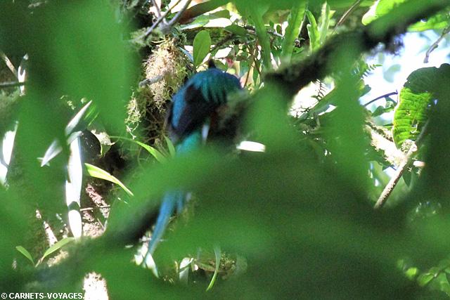 Quetzal male Réserve Monteverde Costa Rica
