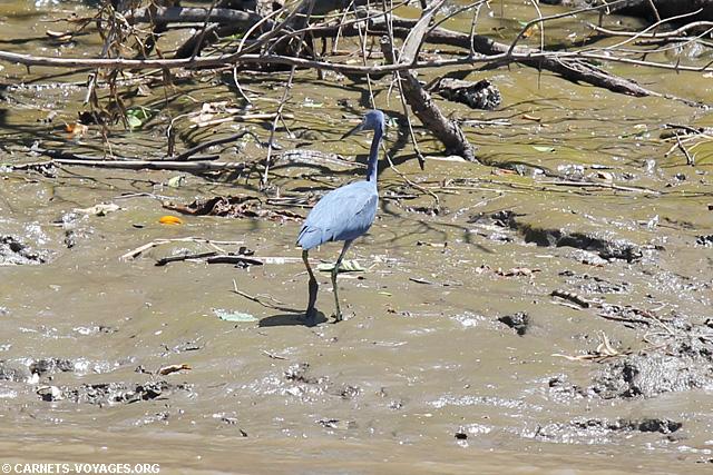 Aigrette bleue Tour rivière Palo Verde Costa Rica
