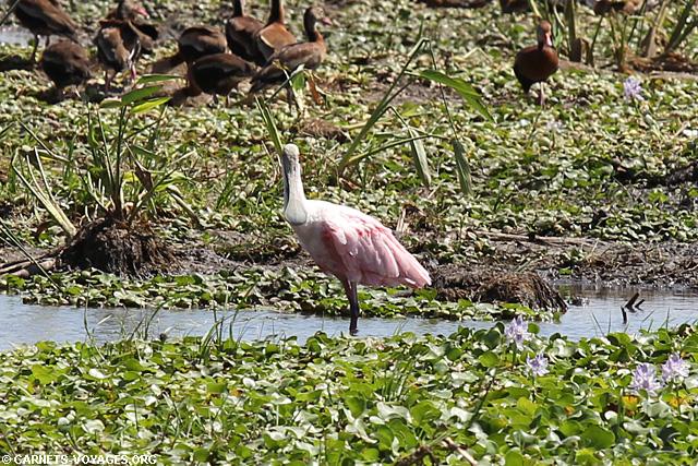 Spatule rose Parc Palo Verde Costa Rica
