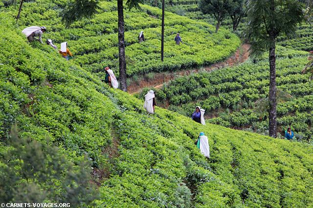 Plantations thé Nuwara Eliya Sri Lanka