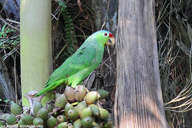 Perroquet Cabo Matapalo Costa Rica