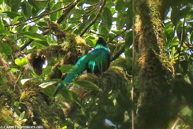 Quetzal réserve Santa Elena Costa Rica