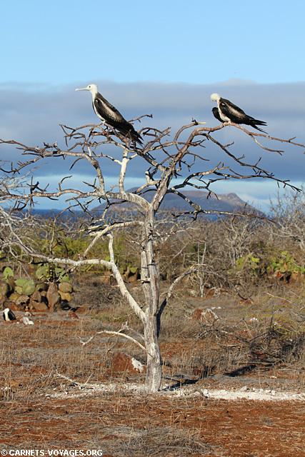 Ile Seymour Nord Galapagos