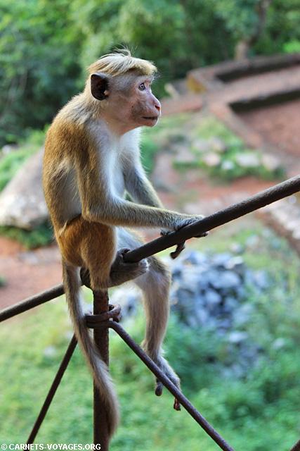 Macaque à toque Sigiriya Sri Lanka