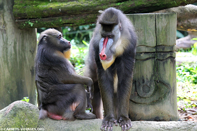 Zoo Singapour mandrill