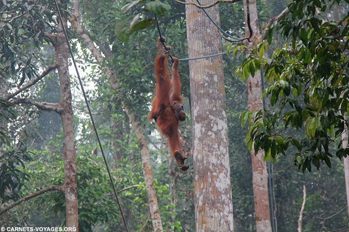 Réserve Semenggoh orang-outan visiter Bornéo Malaisie