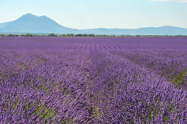 Champs de lavade Valensole Provence