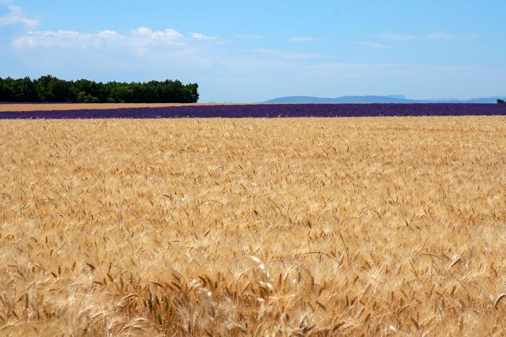 Champs de blé Valensole Provence