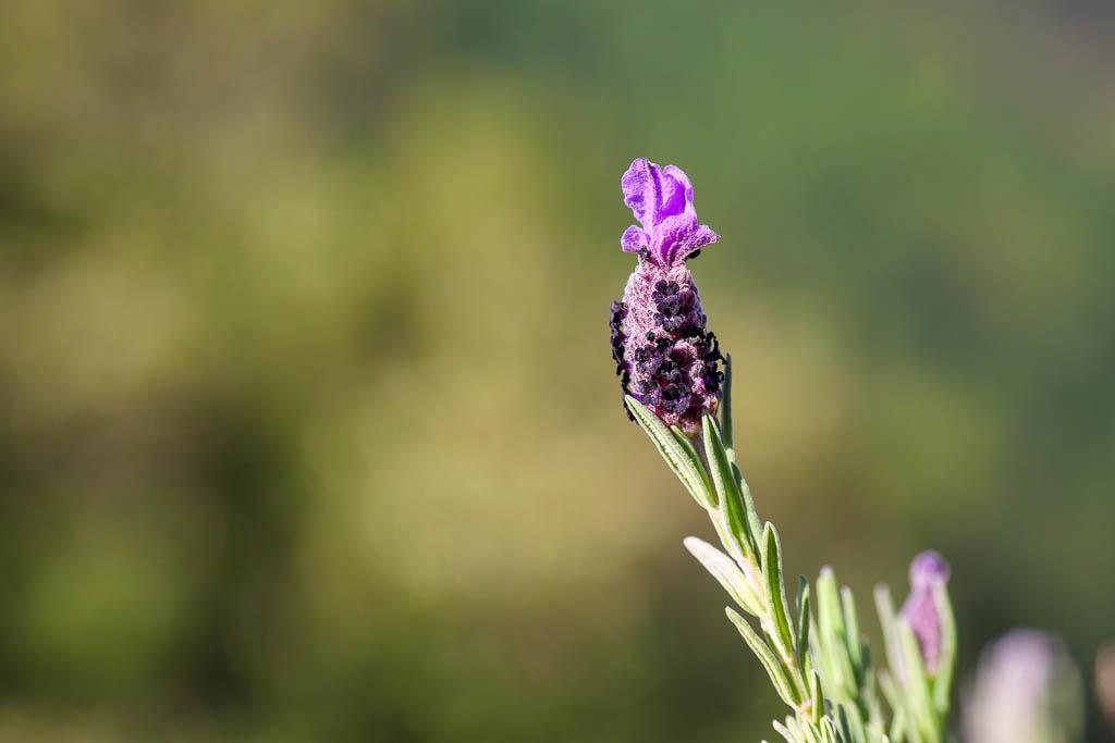 Lavande papillon randonnée Estérel Var
