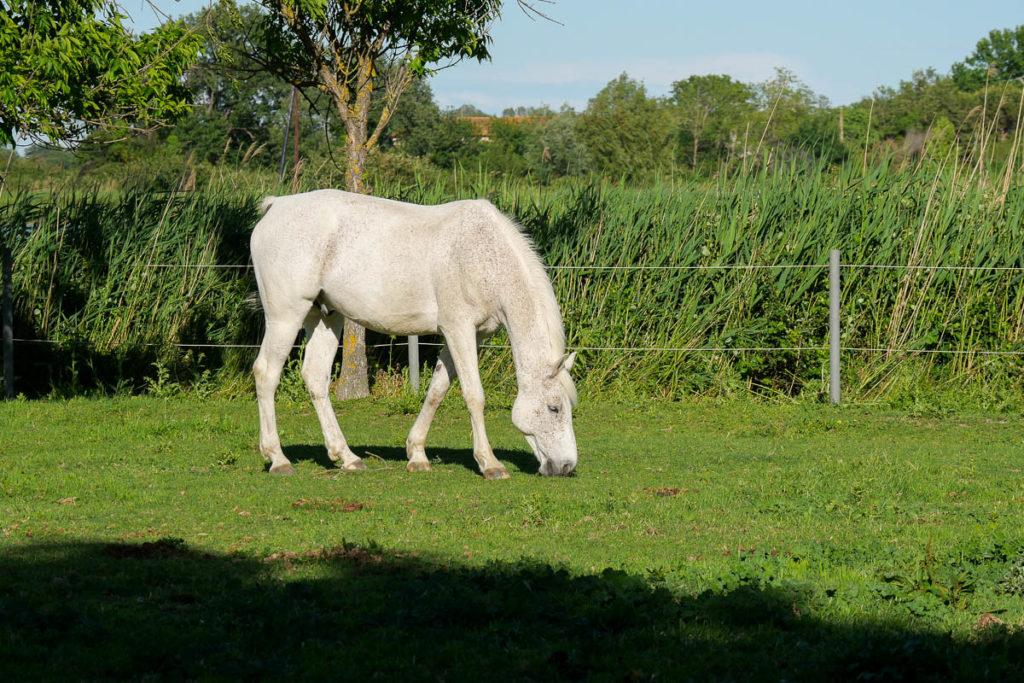 cheval blanc camargue