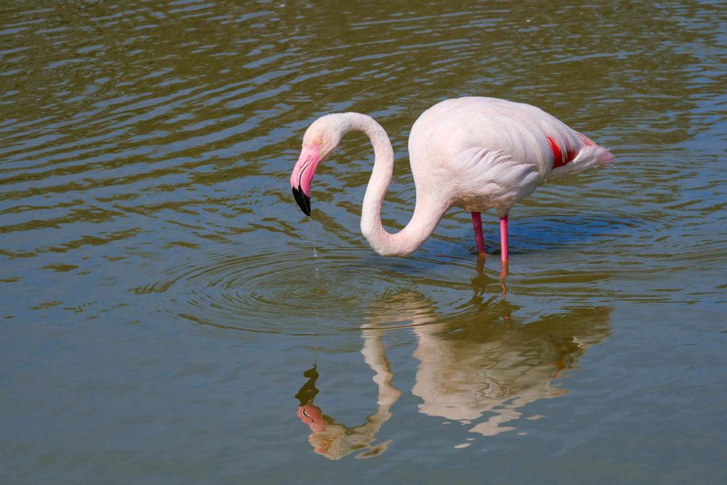 Flamant rose parc pont de gau camargue