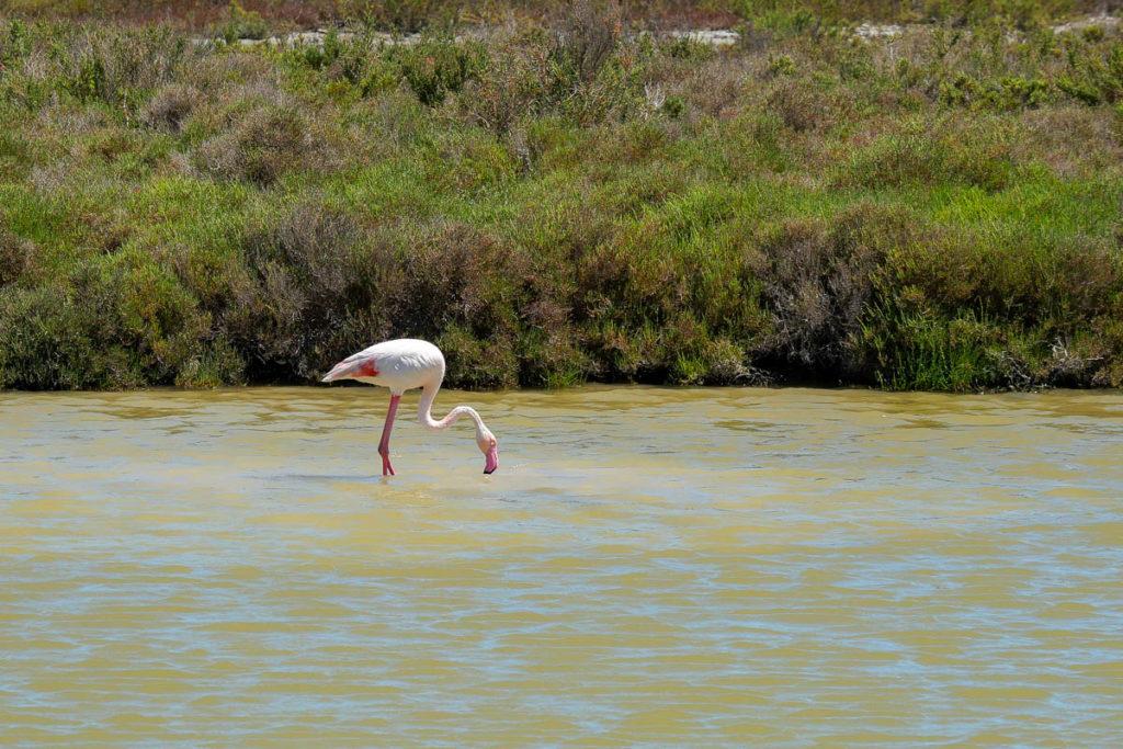 flamant rose étang de vaccarès camargue