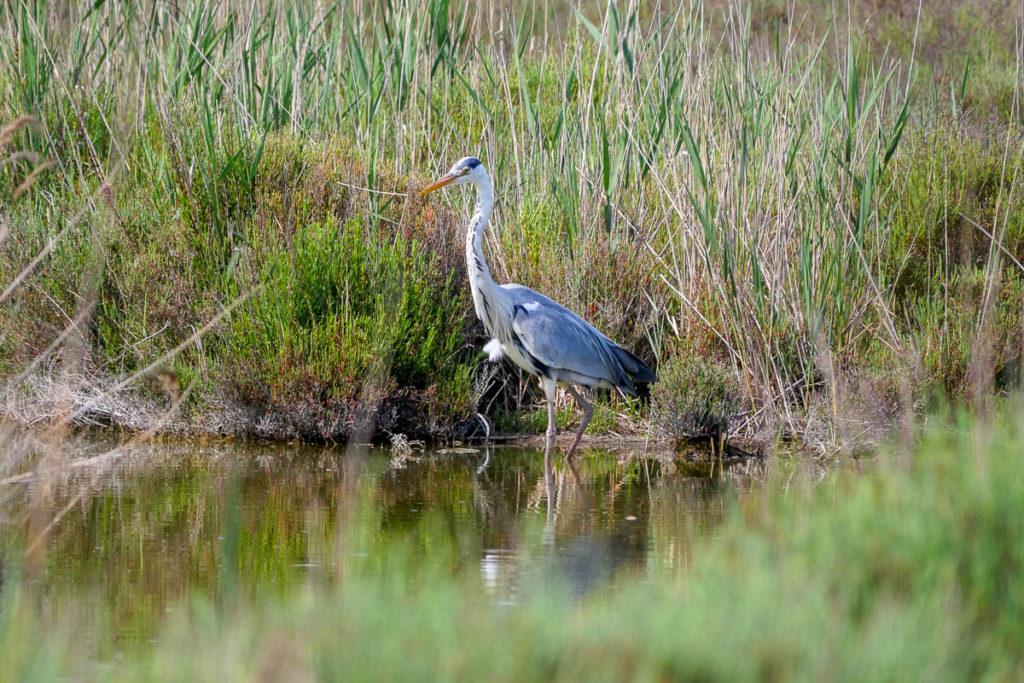 Heron parc pont de gau camargue