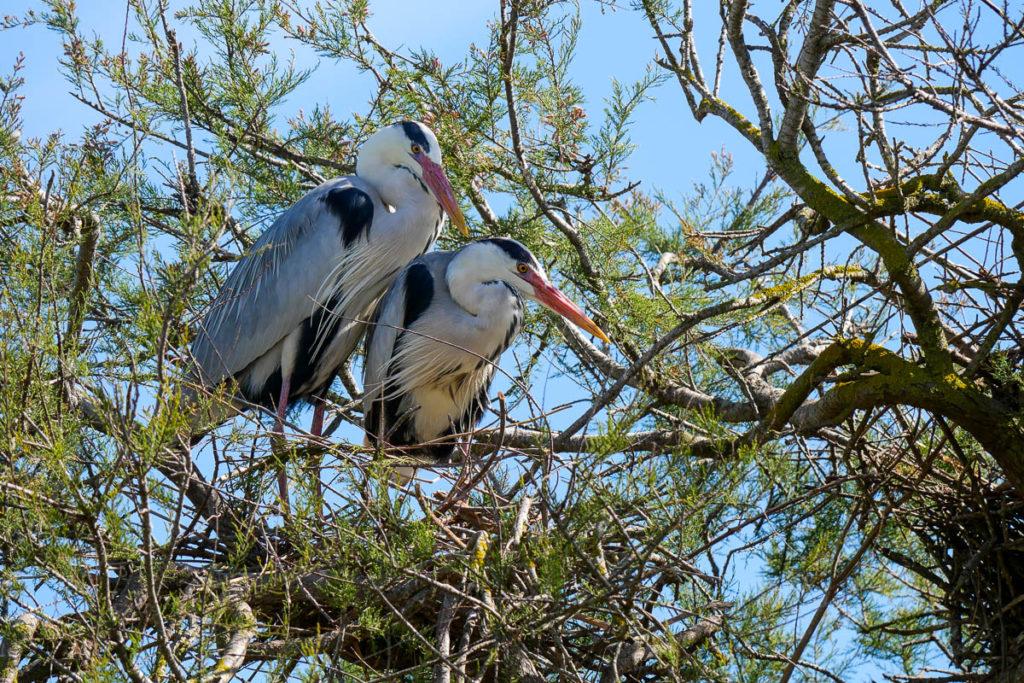 Herons parc pont de gau camargue