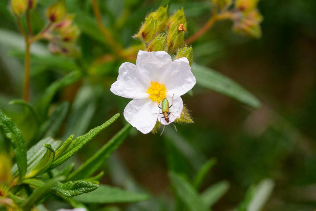 Fleur garrigue marseille
