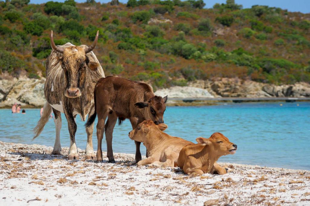 Vaches sur la plage du lotu désert des Agriates Corse